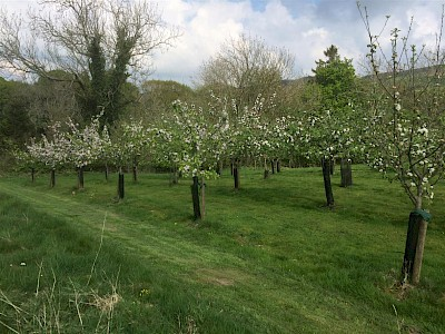 The orchard at Mosser